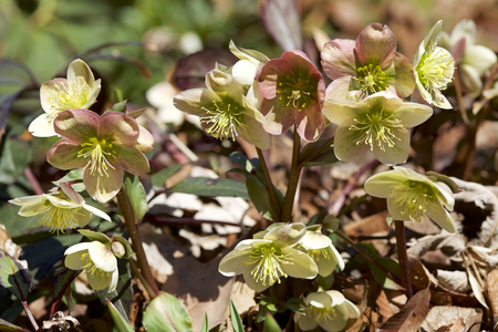 Cream hellebore flowers in the forest