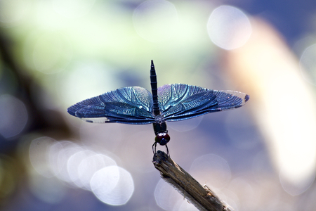 Butterfly Skimmer