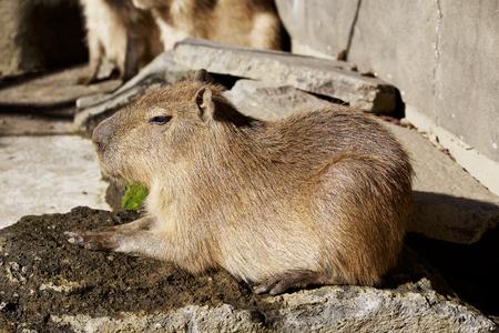 The  capybara which relaxes Stock Photo