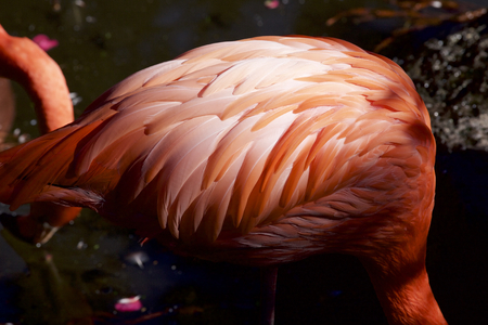 Feather of a flamingo 写真素材
