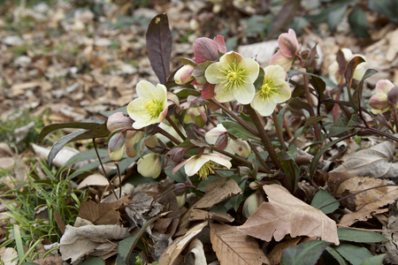 Cream hellebore Stock fotó - 98169190