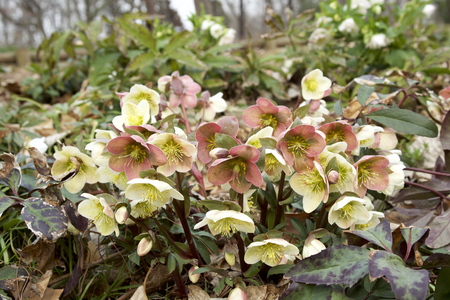Cream hellebore Stock fotó - 98169195