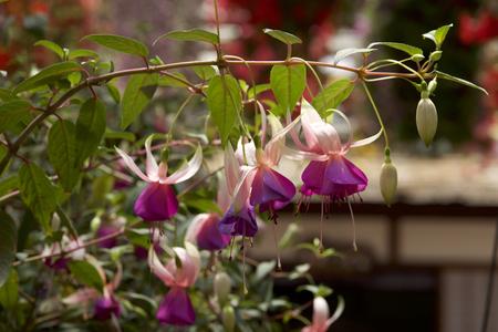 Fuchsia in garden Фото со стока