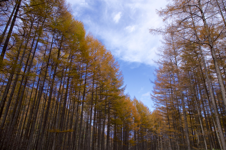 Larch of Tsumagoi in late autumn Yellow leaves