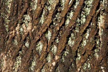 Bark of tulip tree
