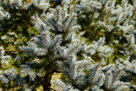 Beautiful silver fir tree