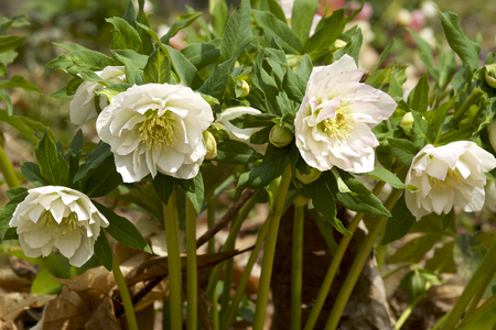 Helleborus flowers in early spring Stock fotó - 98517209