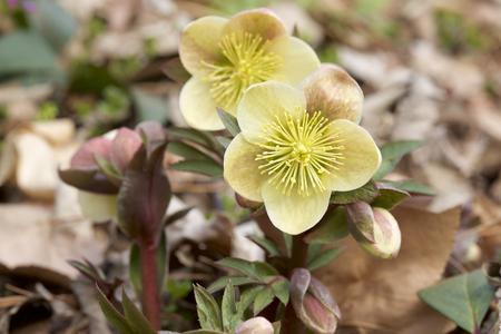 Helleborus flowers in early spring Stock fotó - 98543797