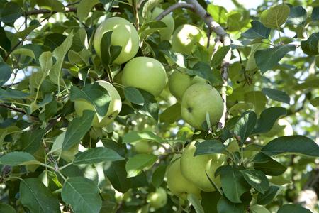 Young apples in fruit garden