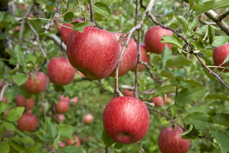 Fuji apples in Japanese orchard