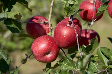 Fuji apples in Japanese orchard.