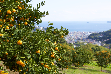 Mandarin orange orchard in Japan