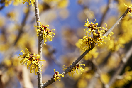 Flower of witch hazel in early spring