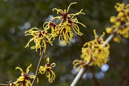 Flower of witch hazel in early spring