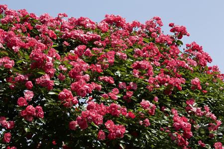 Cup blooms pink rose in garden