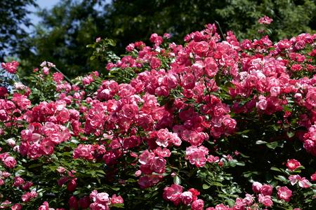 up blooms pink rose in garden