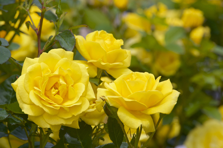Yellow color rose bloomed in garden.