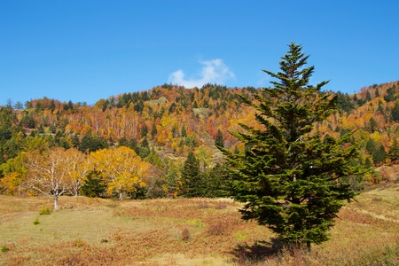 View of the autumn leaves of Shiga Kogen's pasture. The autumn leaves of the plateau farm are very beautiful. 版權商用圖片
