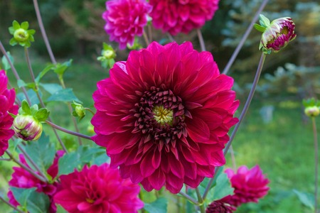 Beautiful red dahlia in garden.