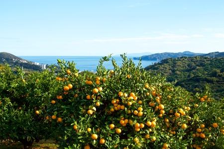 Verger de mandarines au Japon.