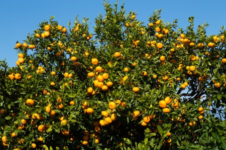 Mandarin orange orchard in Japan. 版權商用圖片