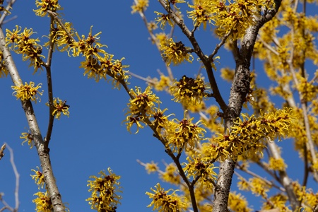 Yellow flowers of the witch hazel blossoms in early spring.
