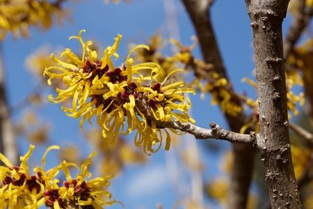 Les fleurs jaunes de l'hamamélis fleurissent au début du printemps. Banque d'images