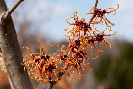 Red flowers of the witch hazel blossoms in early spring. Stok Fotoğraf