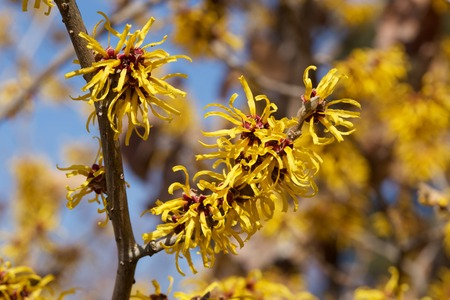 Witch hazel that yellow beautiful flowers bloom early spring. 免版税图像