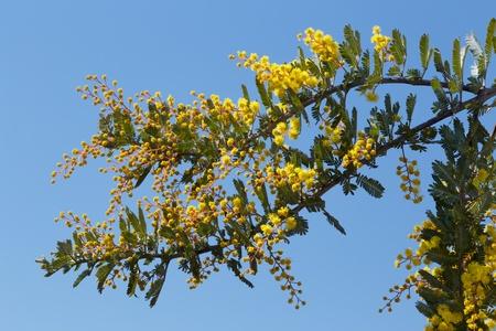 Mimosa's bud Close-up