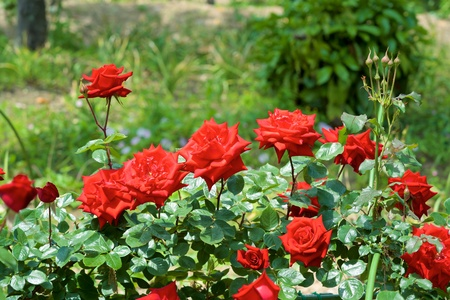 Beautiful Flowers of red rose garden bloomed.