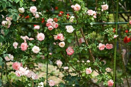 Beautiful Flowers of pink rose garden bloomed.