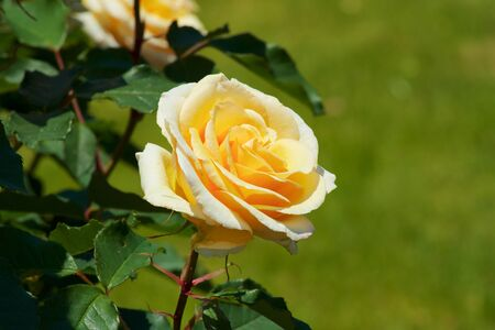 Beautiful yellow color rose bloomed in garden.