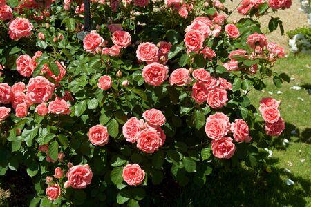 Beautiful pink color rose bloomed in garden. Stock fotó