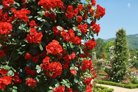 Beautiful red color rose bloomed in garden.
