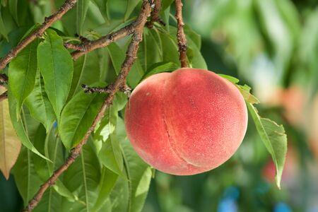 Pesche fresche del frutteto.