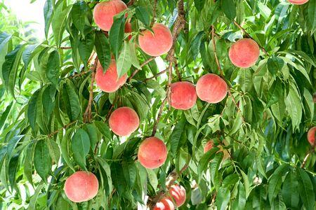 Fresh orchard peaches.
