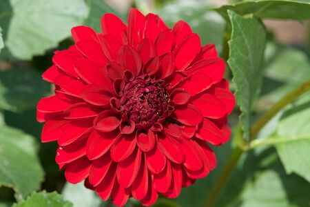 Beautiful Red dahlia Flowers in the Garden Blooming in Autumn.