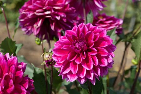 Beautiful Pink dahlia Flowers in the Garden Blooming in Autumn.