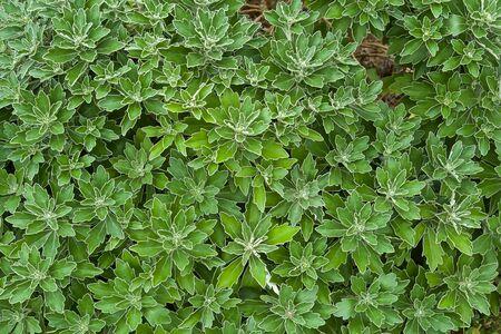 Ajania Pacifica Leaves in Beautiful Season. Stock fotó