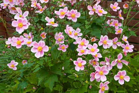 Beautiful anemone hupehensis blossom in garden. Stock fotó