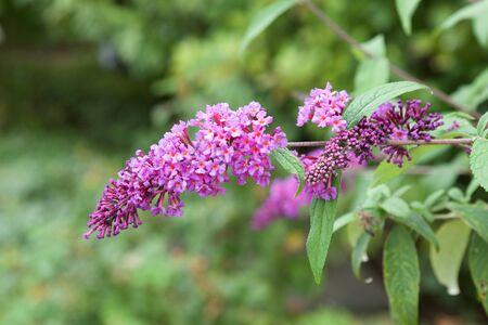 Beautiful budrea flowers in the garden.
