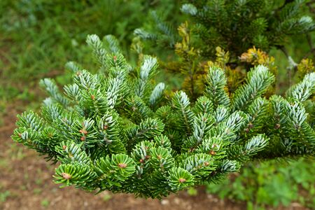 Beautiful fir tree leaves in the mountains. Stock fotó
