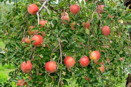 Deliciosas manzanas fuji en huerto japonés. Foto de archivo