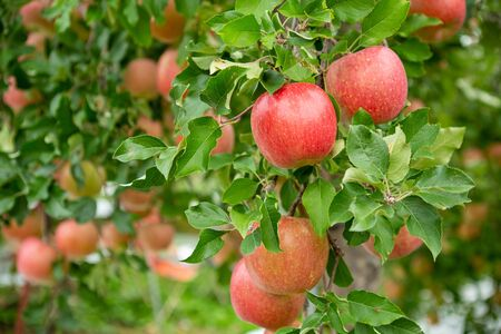 Delicious fuji apples in Japanese orchard.