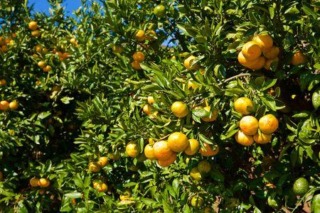 Delicious mandarin orange on the hill of Izu in Japan.