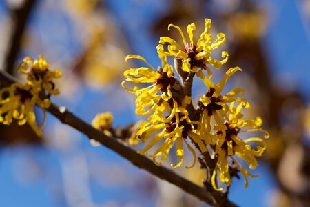Witch hazel that yellow beautiful flowers bloom early spring.