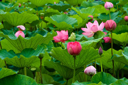 Beautiful ancient lotus flower blooming in the early morning swamp. The lotus, which has been revived as an ancient seed, has a beautiful flower.