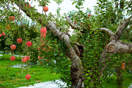 Delicious red apples from Japanese orchards that are about to be harvested. Archivio Fotografico