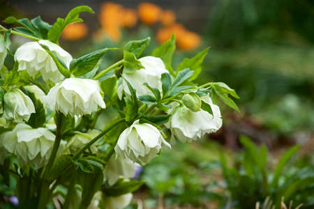 Beautiful hellebore blooming in the early spring garden.
